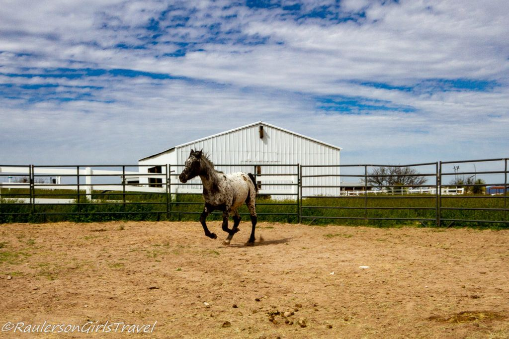 Fred galloping in the round pen