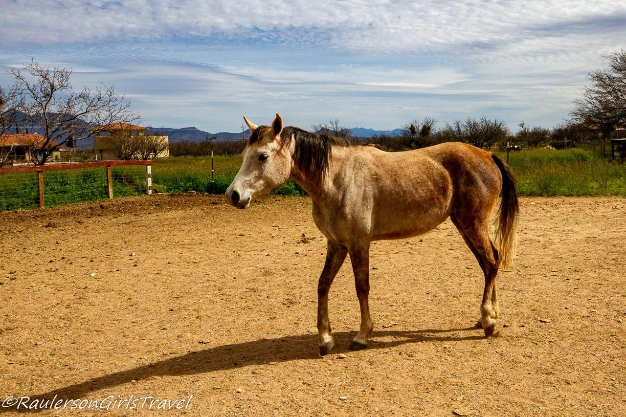 Star at Auld Macdonald Farm Arabians