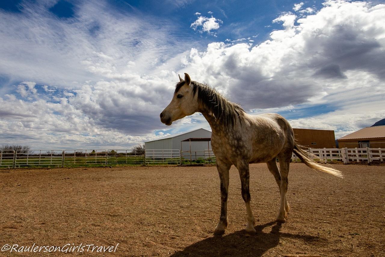 Finn at Auld Macdonald Farm Arabians