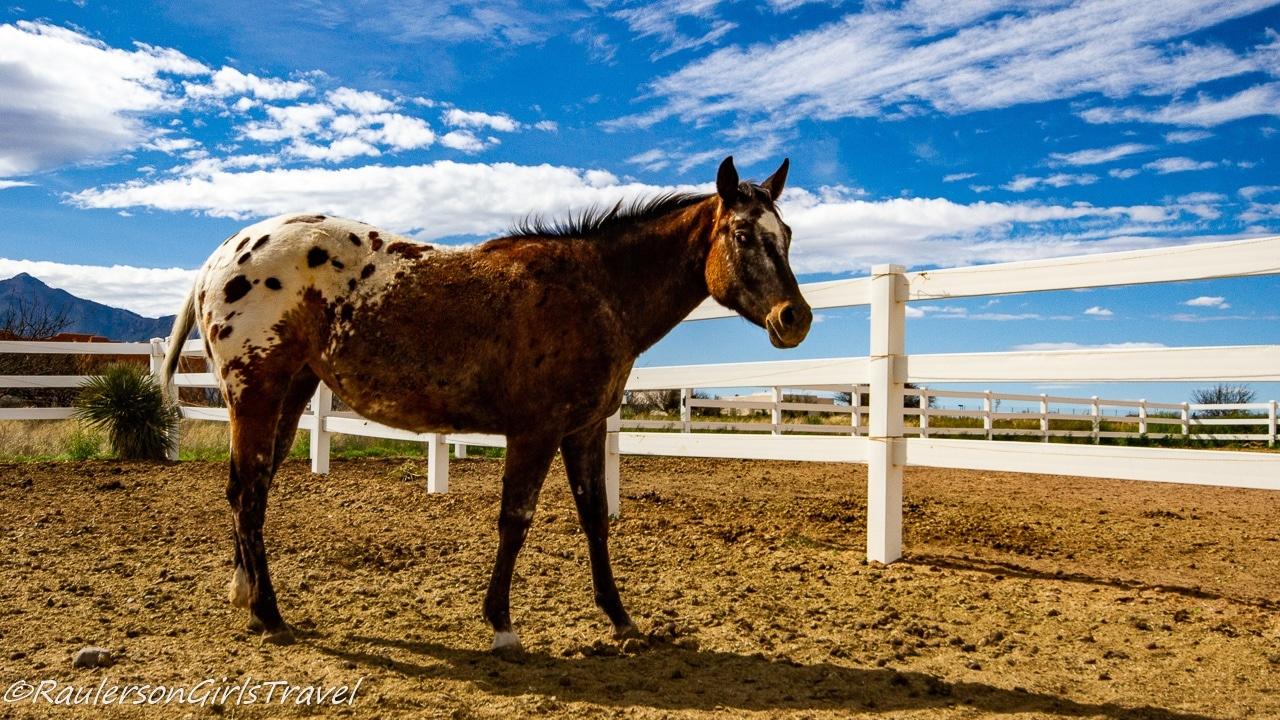 Sundae at Auld Macdonald Farm Arabians