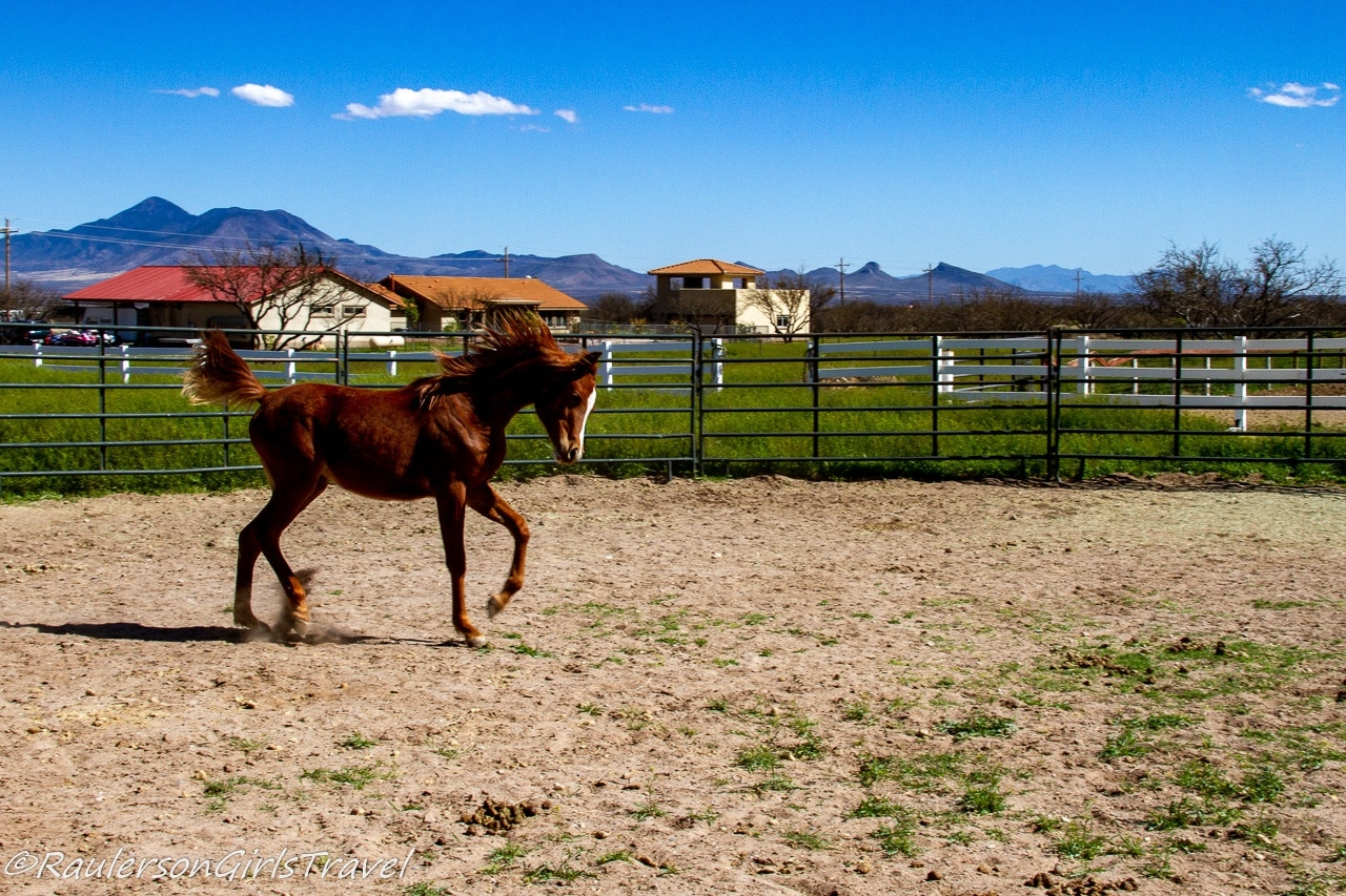 Fancy galloping in the round pen