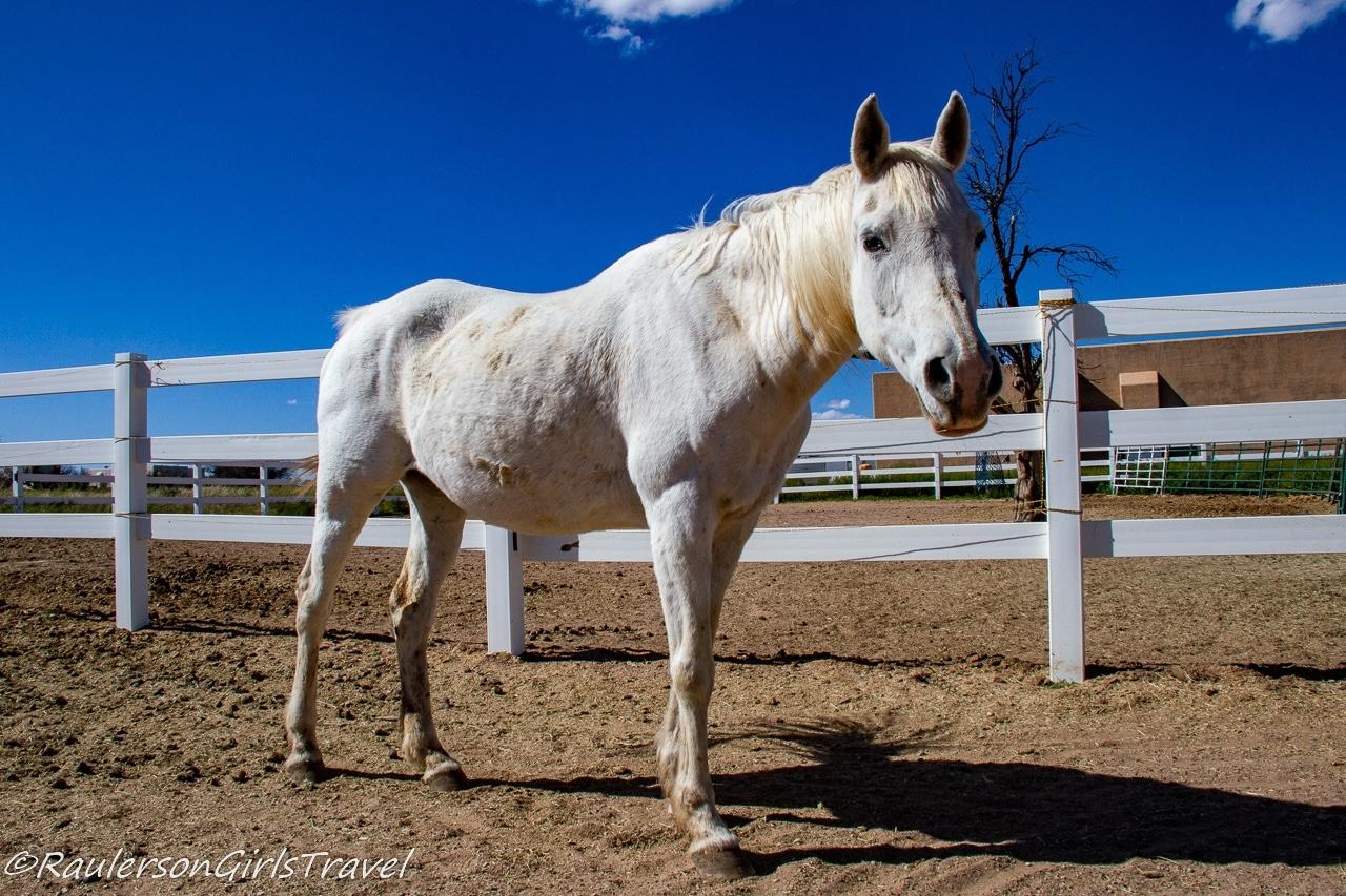 Taza at Auld Macdonald Farm Arabians
