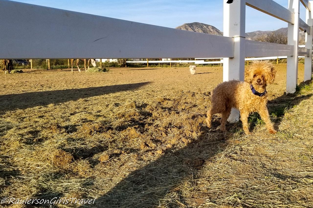 Buddy and Gidget roaming on the horse farm