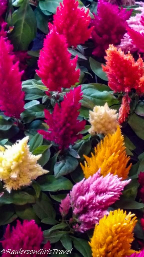 Colorful Cockscomb