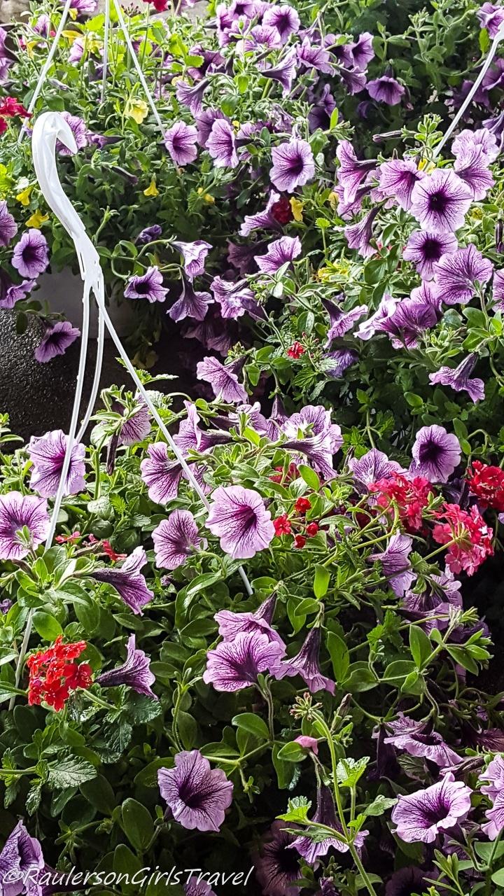 Hanging Baskets of Petunias