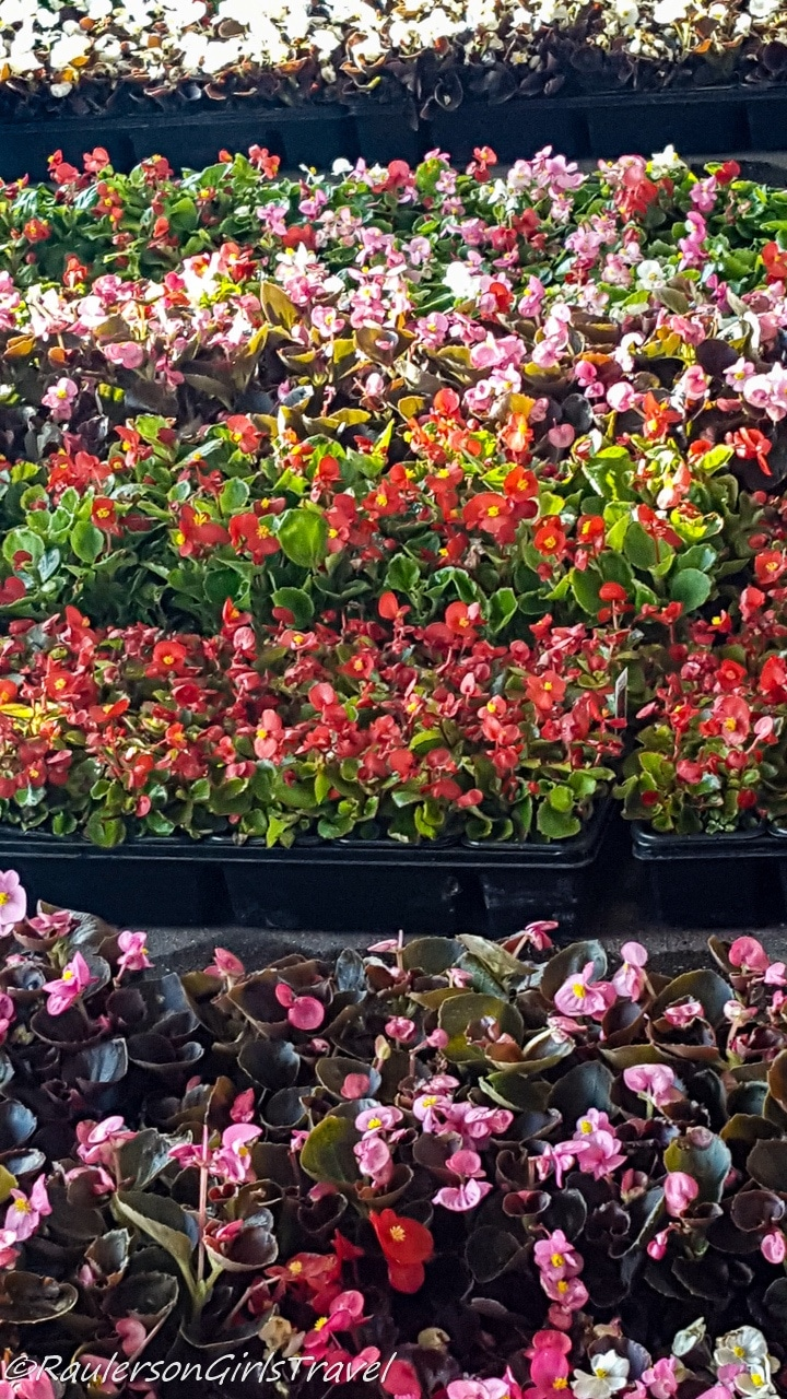 Flats of pink and red flowers in the Eastern Market Flower Day