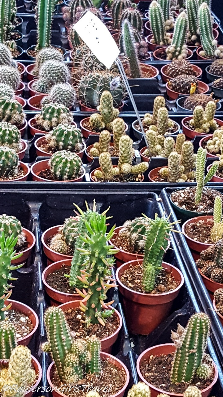 Pots of Cacti at the Eastern Market