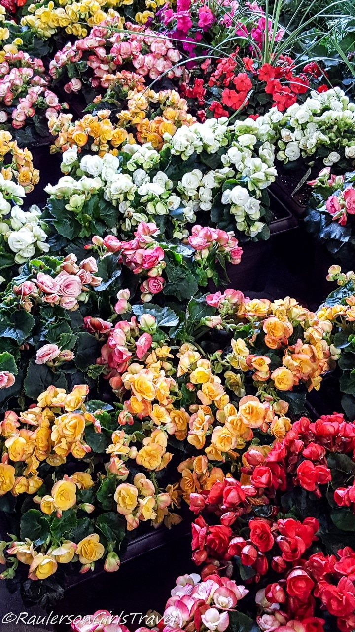 Colorful Rosebud bushes at the Eastern Market on Flower Day