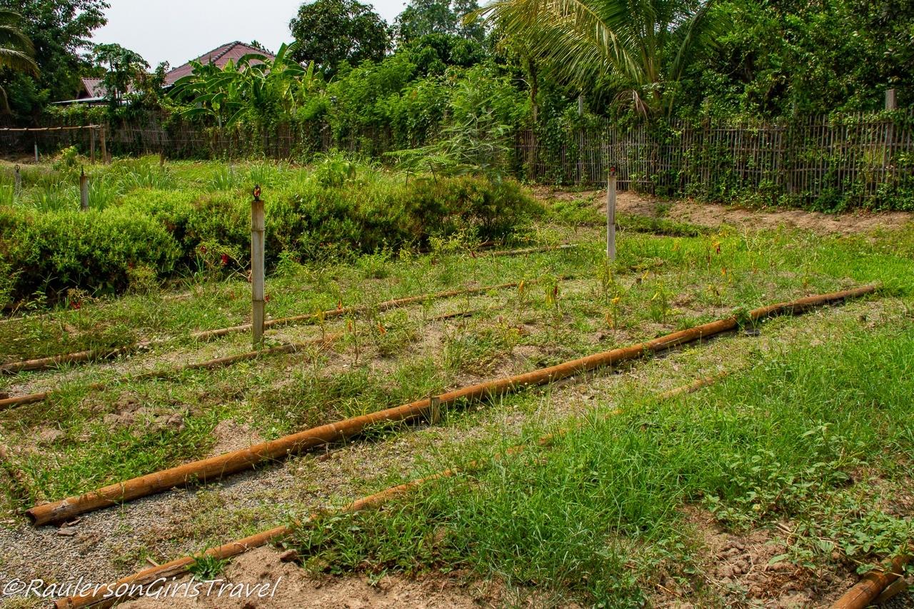 Organic field at Grandmas cooking school