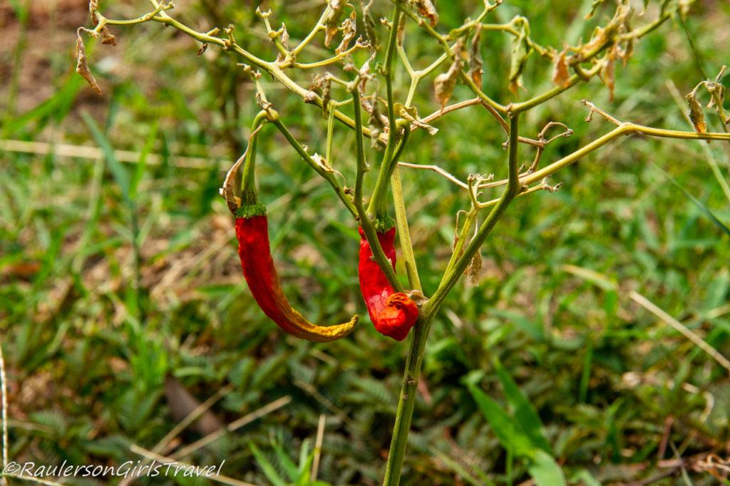 Hot Spicy peppers growing on a farm