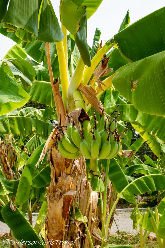 Bananas growing on a plant in Thailand