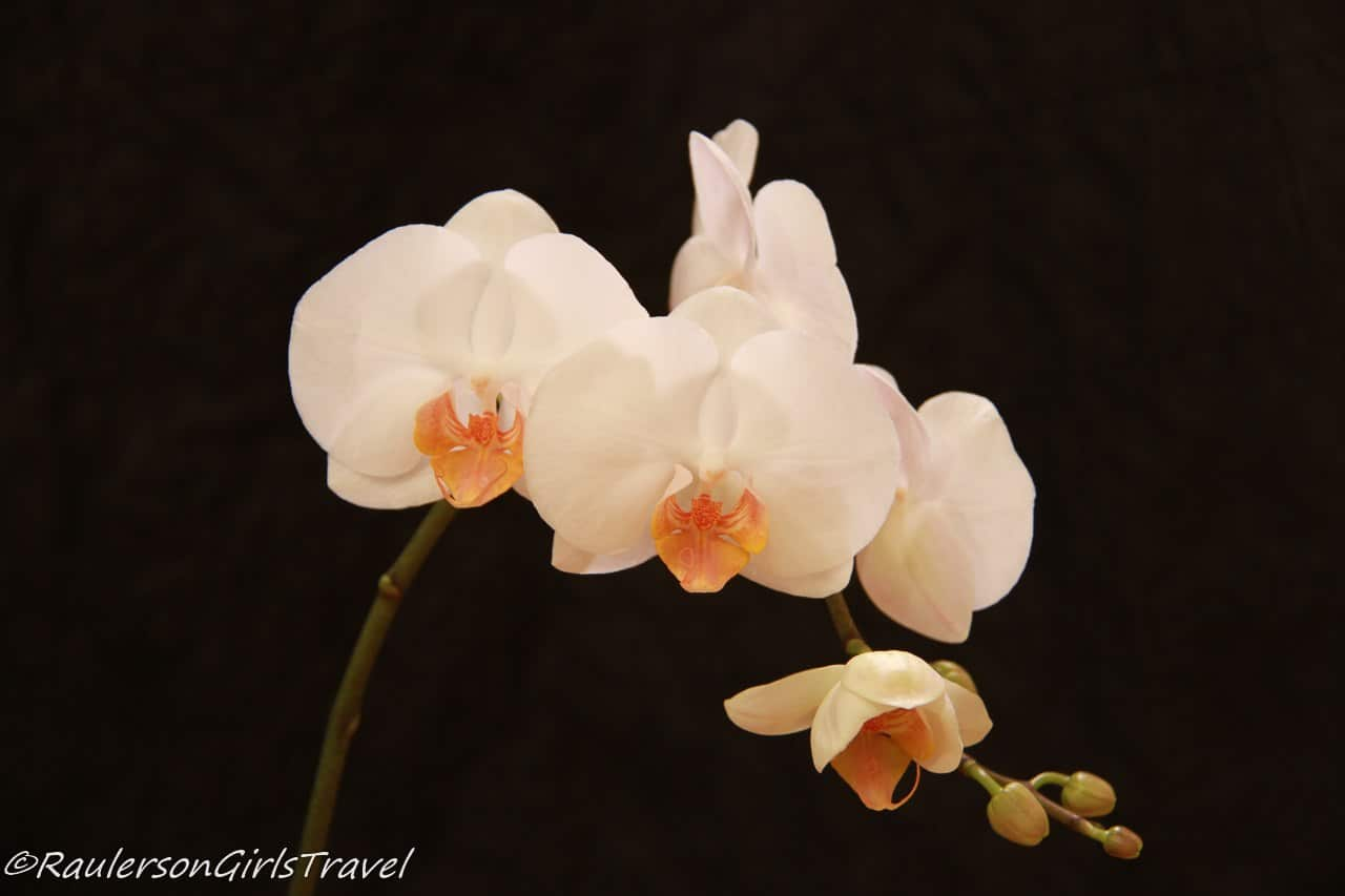 White orchids on a black background