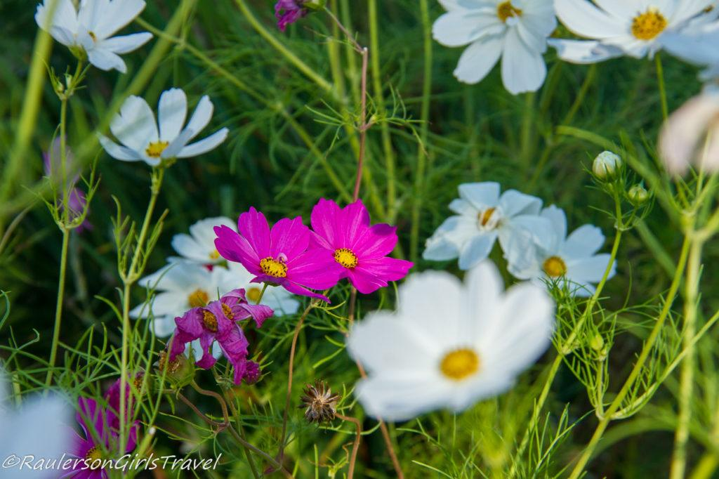 Pink and White Daisies in a field