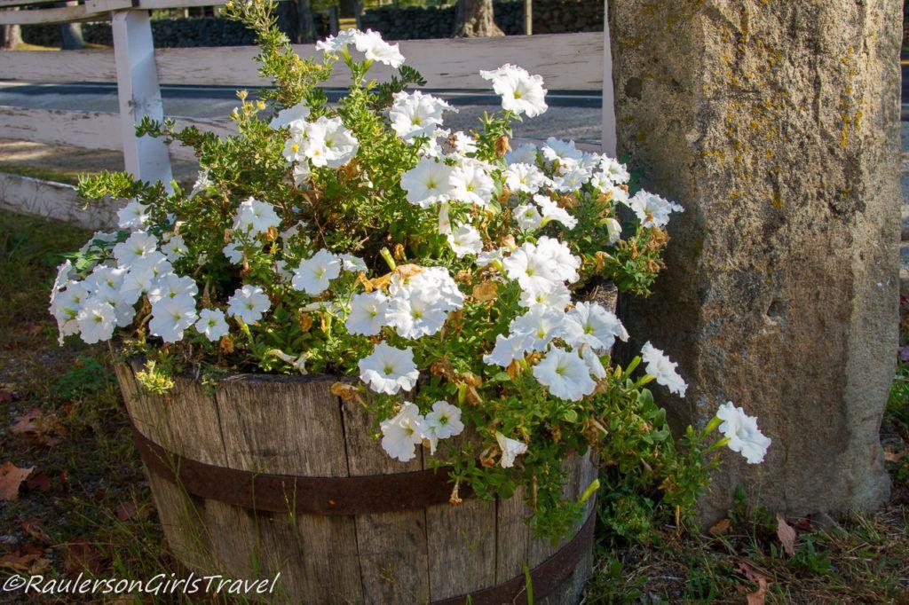 White petunias in a barrel planter
