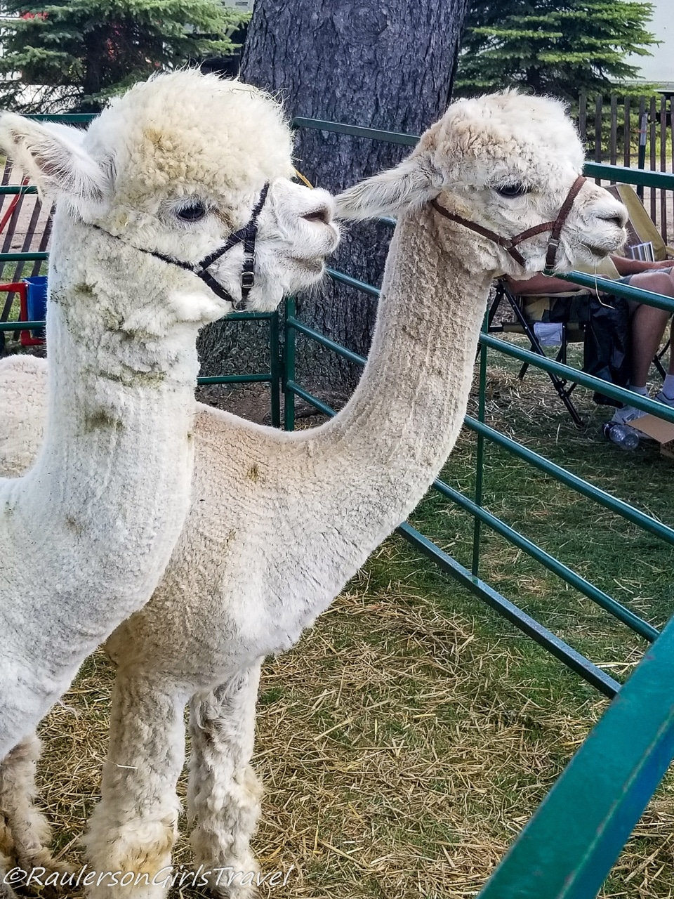 Two alpacas at the Lavender Festival