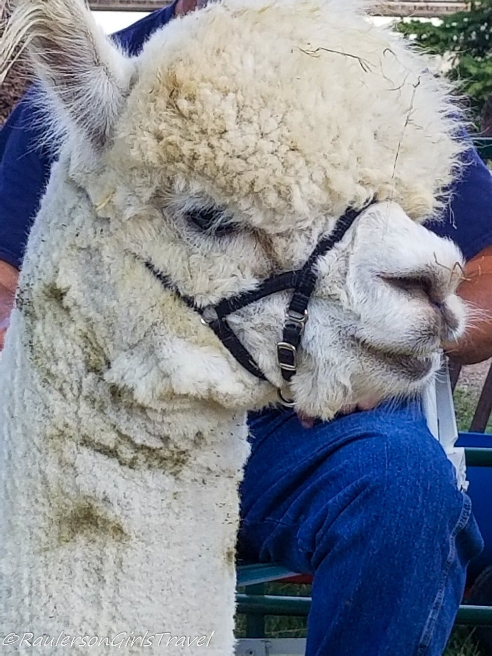 A llama at the Lavender Festival