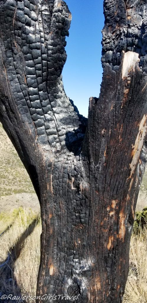 Close-up of a burnt tree from the 2011 Monument Fire