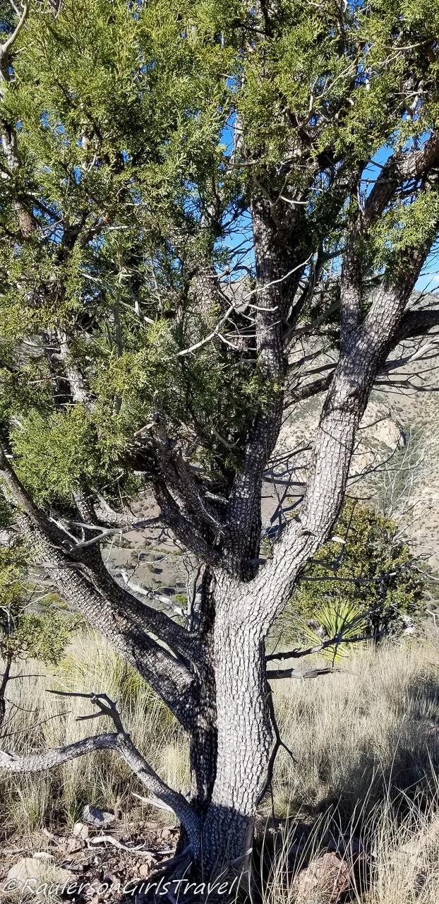 Alligator Juniper Tree