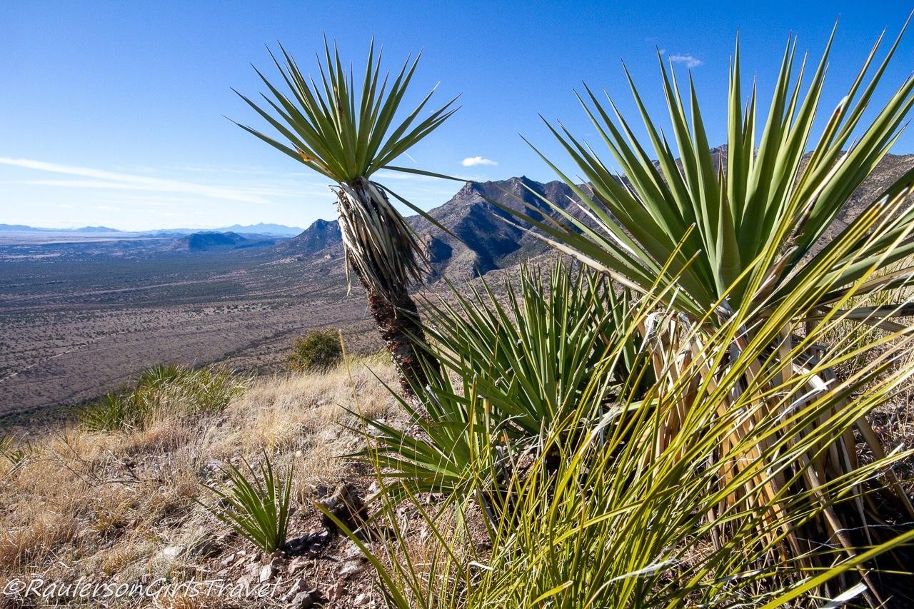 Cacti plants at the top of Coronado Peak