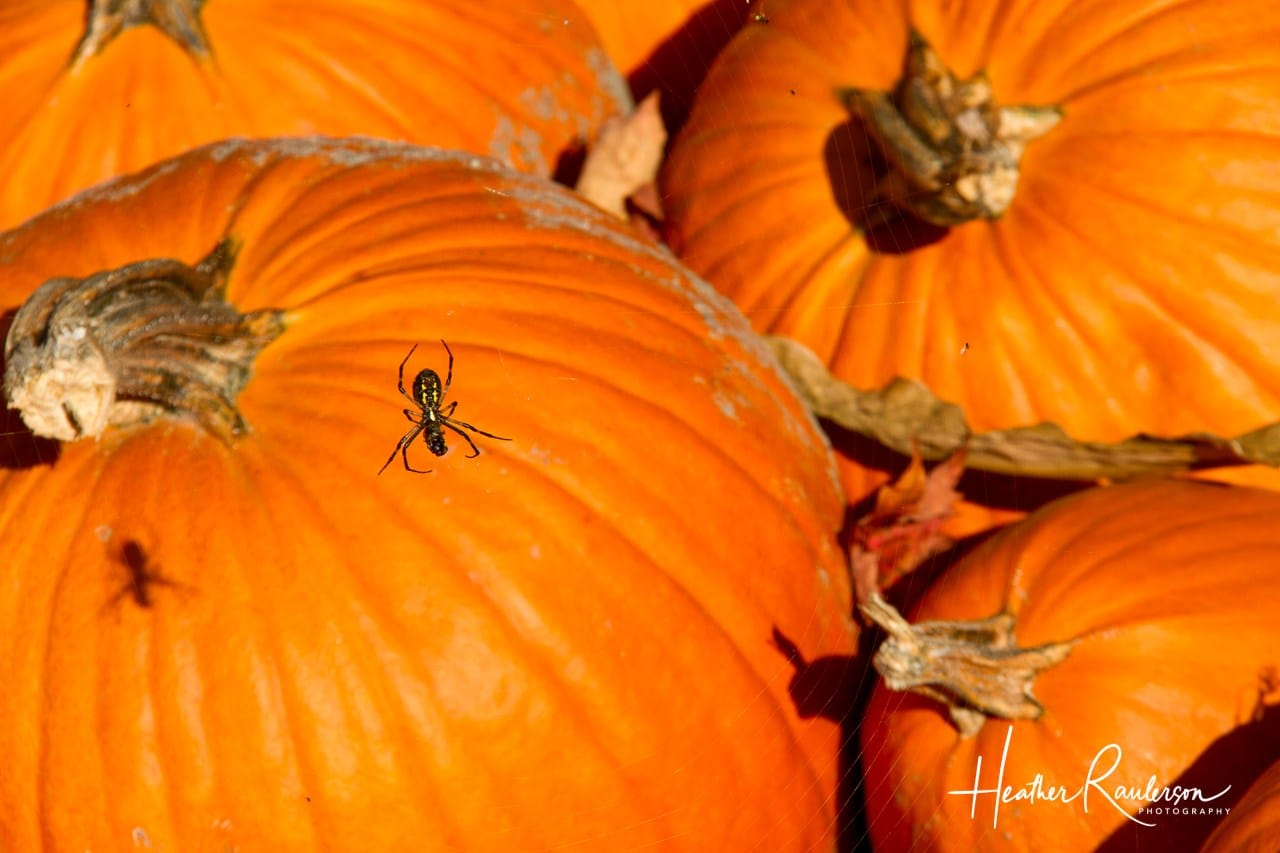 Spider by the pumpkins