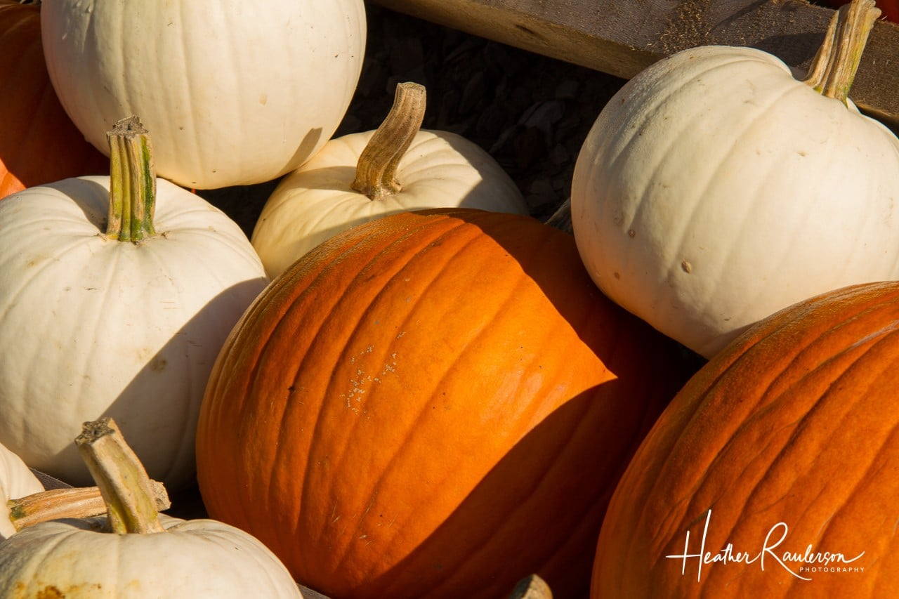 A bunch of white and orange pumpkins