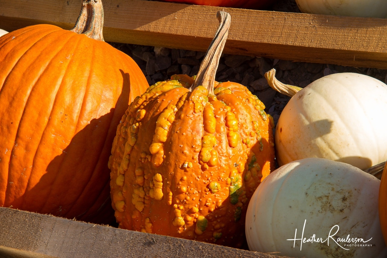 Orange and White Pumpkins for the fall