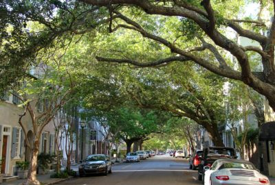 Live Oaks covering curving over road in Charleston