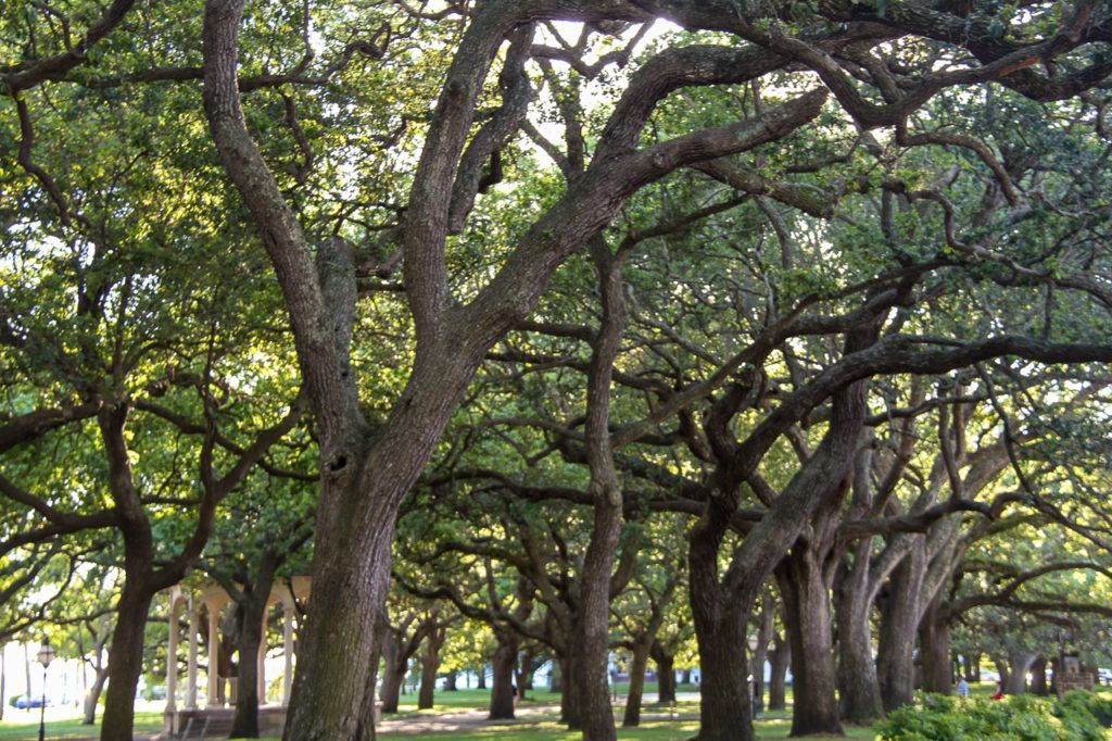 Oak Trees in Charleston
