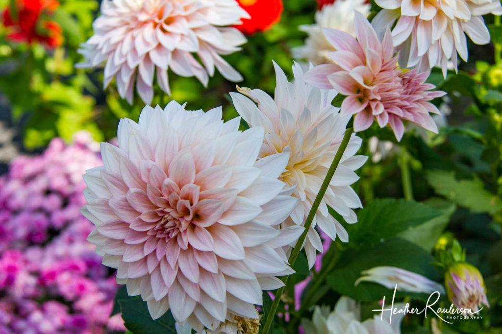 White and pink dahlias