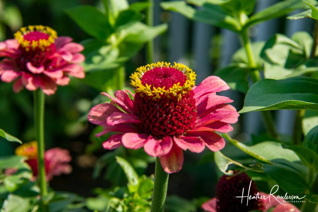 Red Helenium Common Sneezeweed flowers
