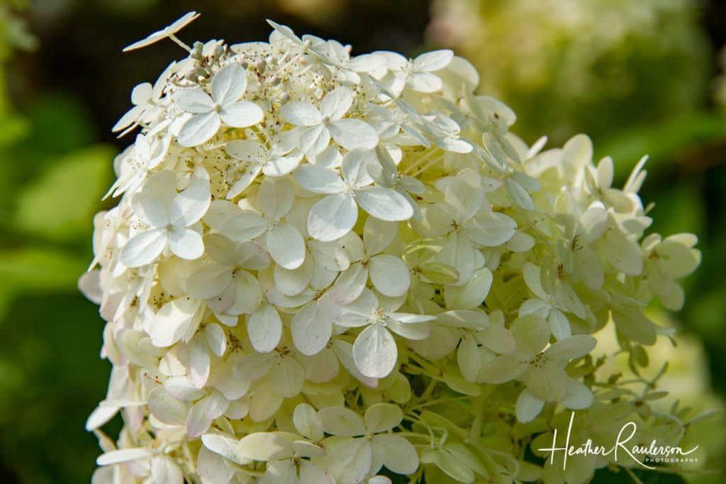 White Hydrangea - flowers in Vermont