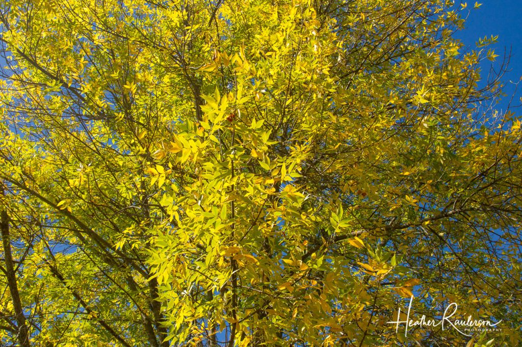 Sunlight through a fall yellow tree in Maine