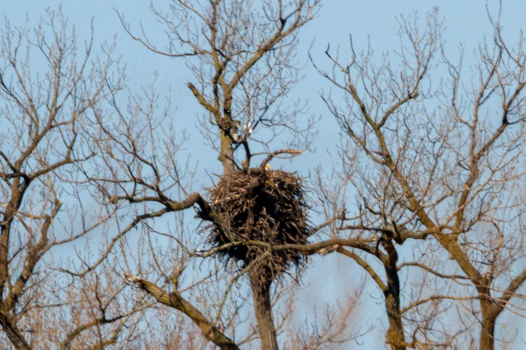 Bald Eagle head popping out of nest