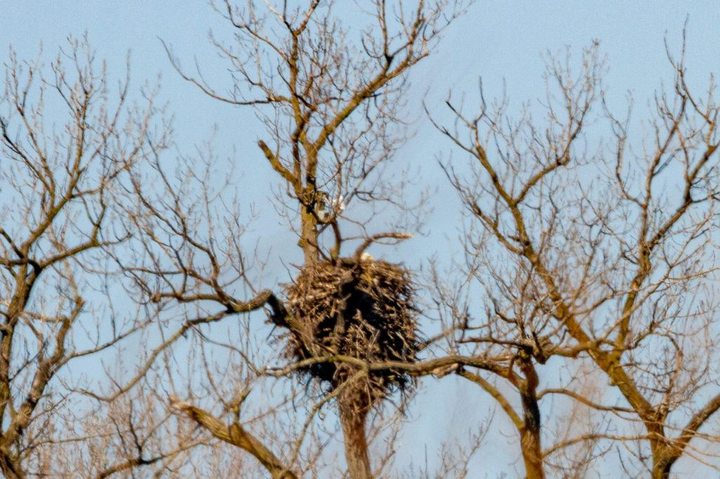 Bald Eagle looking out of nest