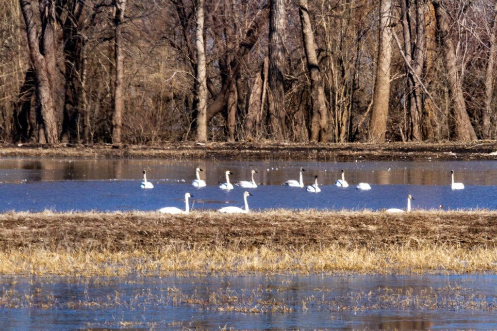 Swans at Two Rivers National Wildlife Refuge