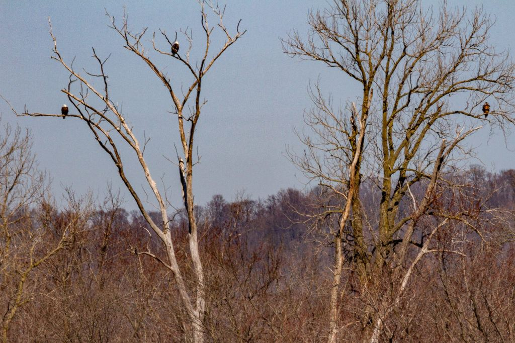 Three eagles sitting on tree branches