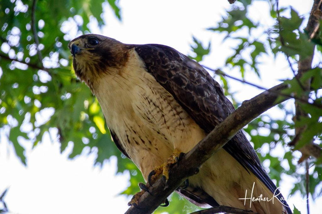 Close-up of Hawk in Tree