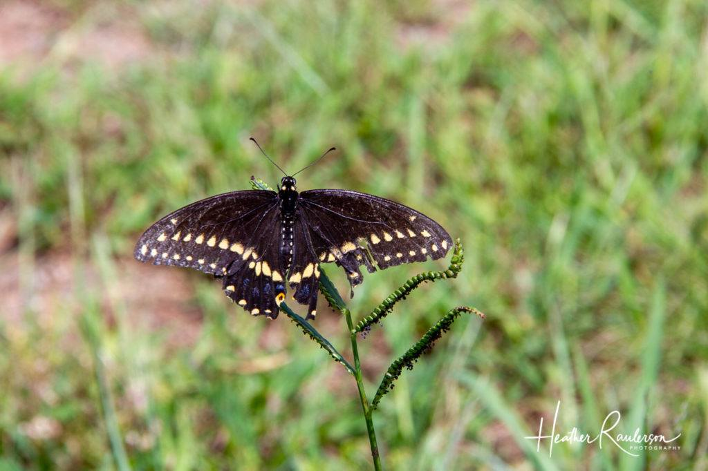 Black Butterfly with Yellow Spots