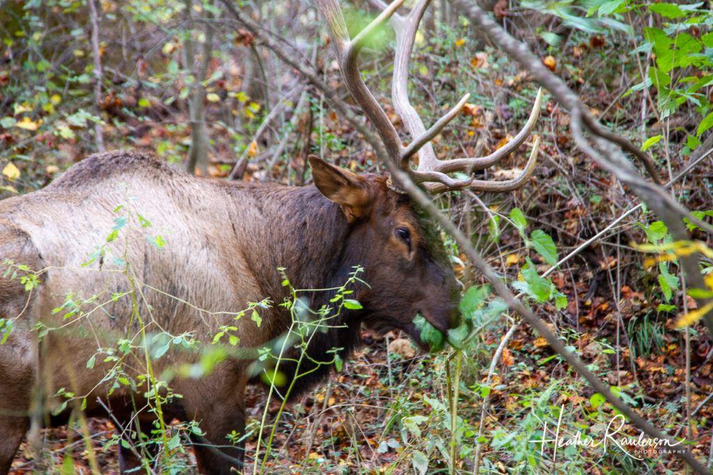 Elk munching on a tree in Cherokee, North Carolina